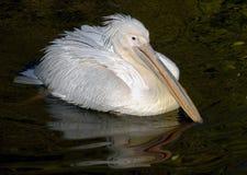 White pelican 2 Stock Photo