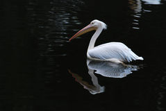 White pelican. With black background Royalty Free Stock Photography