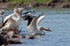 White Pelican Stock Photos