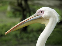 A White Pelican. Staring in the central zoo of Nepal royalty free stock images