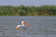 White pelican Royalty Free Stock Photography