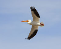 White Pelican. The White Pelican is heaviest and largest flying bird in Utah Stock Photo