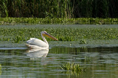White Pelican Stock Photo