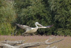 White Pelican. Juvenile white pelican taking off Royalty Free Stock Image