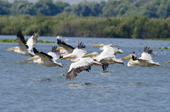 White Pelican. Juvenile white pelican taking off Royalty Free Stock Photo