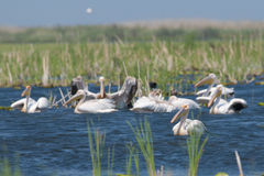 White Pelican. Flock on water Stock Images