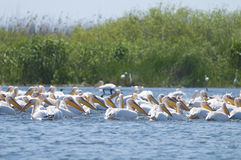 White Pelican. Flock on water Stock Photo