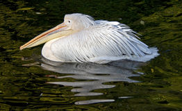 White pelican 3 Stock Photography