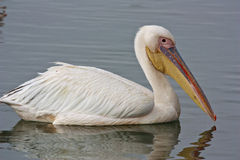 Free White Pelican Stock Images - 30221174