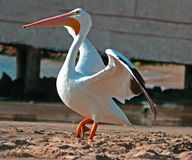 White Pelican. At Acapulco, Mexico Royalty Free Stock Photography