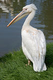 White pelican 4 Royalty Free Stock Image