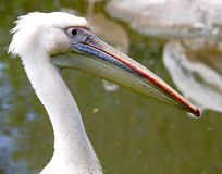 White pelican 5 Stock Photos