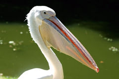 White pelican. With strong nib Royalty Free Stock Photo