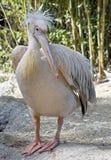 White pelican 6 Stock Photo