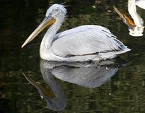 White pelican 7 Stock Image