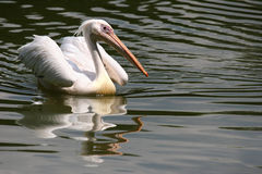 White Pelican Stock Photos
