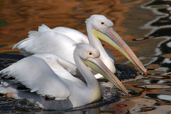 White pelican. Early morning pair white pelicans in a spawning dress float on lake Royalty Free Stock Photo