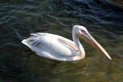 Free White Pelican Royalty Free Stock Photos - 88782398