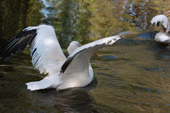 White pelican. At the like Royalty Free Stock Photos