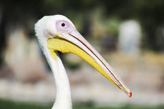 White Pelican in Bahrain Royalty Free Stock Photo