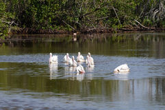 White pelican beaks. White pelicans with pink beaks on water stock image