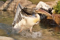 White pelican bird Stock Photo