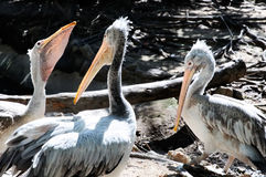 White pelican bird. In the zoo,Thailand Royalty Free Stock Images
