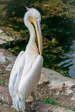 White pelican bird. White big pelican bird at the pond Stock Photos