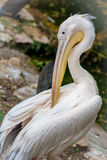 White pelican bird. White big pelican bird at the pond royalty free stock photo