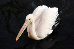 White pelican bird floating in the dark water. Relax Royalty Free Stock Photography