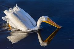 White pelican on blue water with its rection cast on water stock photography