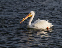 White pelican in breeding mode Royalty Free Stock Photo