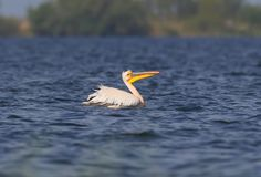 White Pelican in the breeding plumage floats. Along the blue water Stock Photos
