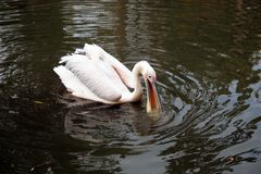 White Pelican catching a fish royalty free stock images