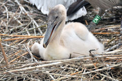 White pelican chick Stock Photography