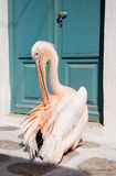 White Pelican Cleans Feathers Near The Door Stock Photos
