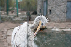White Pelican cleans feathers Stock Images
