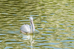 The White Pelican stock photos