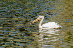 The White Pelican royalty free stock photography