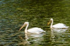 The White Pelican stock photo