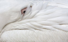 White pelican closeup background Stock Image