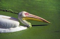 White Pelican on duckweed Stock Photo