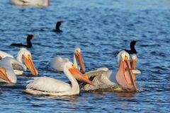 White Pelican eating. This pelican caught a carp that would weigh about a pound and a half, over 12 inches long, quite a mouth full but the pelican has the mouth Royalty Free Stock Images