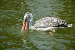 White Pelican fishing in nature Royalty Free Stock Photography