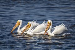 White Pelican Fishing Trio - Sanibel Island. Three American white pelicans fish together on the waters of Ding Darling National Wildlife Refuge on Sanibel Island stock image
