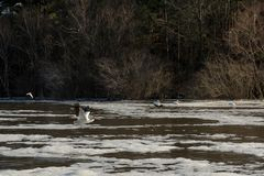 Pelican Flying Over Muddy, Foamy Water in Winter royalty free stock photos