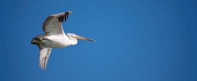 White pelican in flight. Flying white pelican against blue sky. Latin name : pelecanus onocrotalus Stock Photos