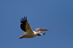 White pelican in flight Royalty Free Stock Photos