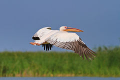 White pelican in flight Royalty Free Stock Photo