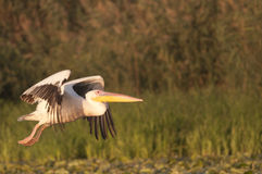 White pelican in flight Stock Images